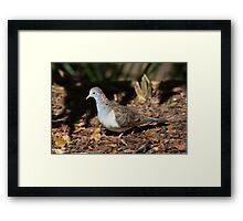 Bar Shouldered Dove Framed Print