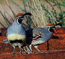 Gambel's Quail by Marvin Collins
