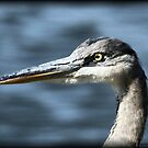 Great Blue Heron by Dennis Cheeseman