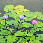 Asian water lillies by Maggie Hegarty