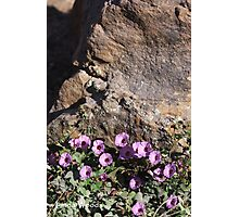 Bindweed Blossoms Photographic Print