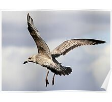 Juvenile Great Black Backed Gull Poster