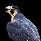 Peregrine Falcon fractalized by arcadian7