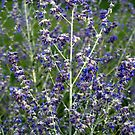 Russian Sage by photosbycoleen