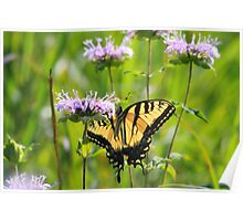 Light Through a Tiger - Tiger Swallowtail Poster