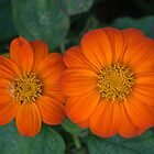 Mexican Sunflower Torch by photosbycoleen