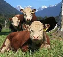 """critters""   flagstaff hereford stud, west coast, nz by rina  thompson"