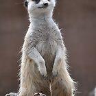 meerkat by Bruce Westendorf