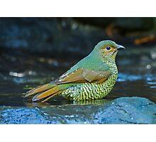 Juvenile Satin Bower Bird Photographic Print