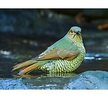 Juvenile Satin Bower Bird Photographic Print