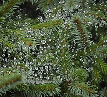 Rain Drops on Spider Webs on Evergreens, Oh My! by scenebyawoman