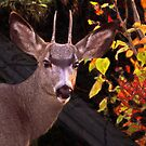 Autumn Baby Buck II by Al Bourassa