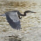 Great Blue Heron by Bill McMullen