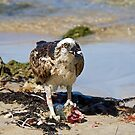 Osprey with fish 2 by mncphotography