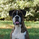 Boxer Rescue Victoria by BoxerRescue