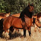 Chief and his mares by Sue Ratcliffe