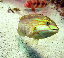 Swansea Wrasse by Matt-Dowse