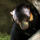 Sun Bear, deep in thought by Glenn Gilbert
