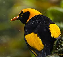 Regent Bowerbird in the Rain by gmpepprell
