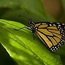 Monarch by liza1880