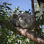koala by Adelheid