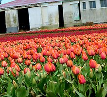Tulips Galore! - Tulip Growers - NZ - Rural Southland by AndreaEL