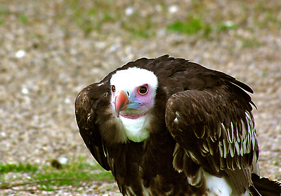 Ethel the Vulture by Trevor Kersley