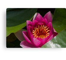 waterlily in the lake Canvas Print