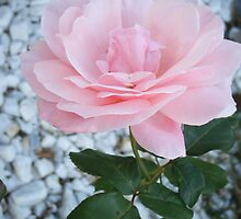 Pink Rose in the Garden by Gina Ryan