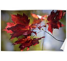 Torch Red Maple Leaves Poster