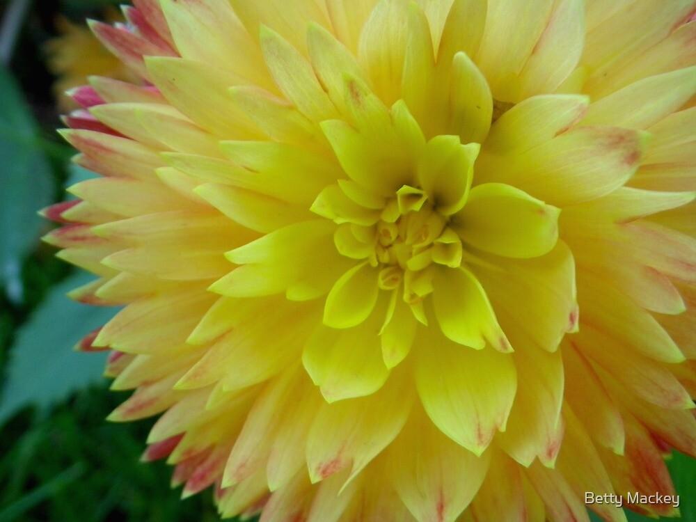 Double Yellow Dahlia by Betty Mackey