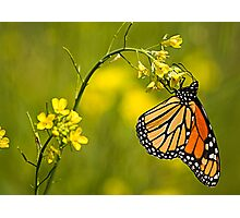 summer butterfly Photographic Print