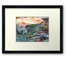 Red Browed Finch Framed Print