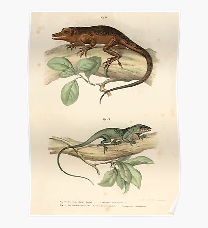 Leopold Joseph Fitzinger 1867 0037 Picture Atlas for popular scientific natural history of vertebrates Poster
