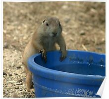 thirsty pararie dog Poster