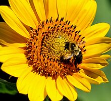 Sunflower Bee by DJ Florek