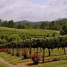 Cain Creek Vineyards by Tracey Hampton