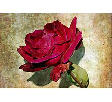 Belated Rose Photographic Print