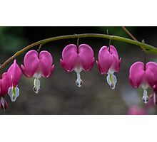 Macro Bleeding Heart Flowers Photographic Print