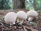 Puffball Fungi by Sally Green