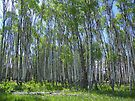 Justus Spring Aspens by Betty  Town Duncan