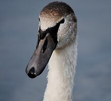 Portrait of a Cygnet by dougie1page2