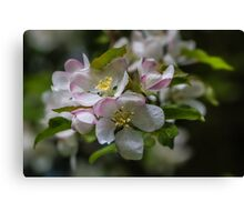 Macro White Blossom Tree Canvas Print