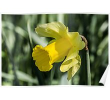 Single Daffodil Close Up Poster