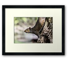 Squirrel close up Framed Print