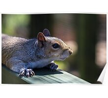 Cute baby squirrel Poster