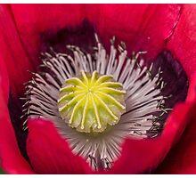 Macro Pink and Purple Poppy Flower Photographic Print