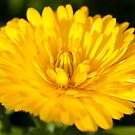 yellow flower by Dean Messenger