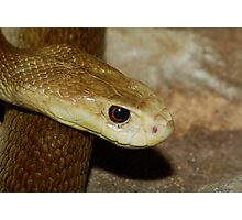 Taipan Photographic Print