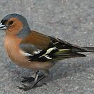 Chaffinch [not for sale] by Antony Burgess